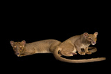 A Pair of One-Year-Old Fossas, Cryptoprocta Ferox Photographic Print by Joel Sartore