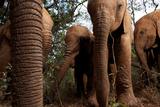 Orphan Elephants Socialize in the Nairobi Nursery Photographic Print by Michael Nichols