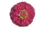 A Zinnia Flower Photographic Print by Robert Llewellyn