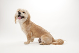 A Studio Portrait of a Lhasa Apso Mix Photographic Print by Joel Sartore
