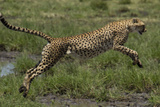 A Cheetah Leaps over a Puddle in the African Savanna Photographic Print by Michael Melford