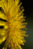 A Close Up of a Common Dandelion Flower Photographic Print by Matthias Breiter