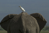 A Cattle Egret Standing on an African Elephant's Back Photographic Print by Beverly Joubert