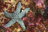 A Starfish on Cortes Bank Seamount Photographic Print by Brian J. Skerry