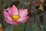 A Lotus Flower Blooming in the Danang Area of Vietnam Photographic Print by Karen Kasmauski
