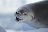 Crabeater Seal, Lobodon Carcinophaga, on an Ice Floe Photographic Print by Tim Laman
