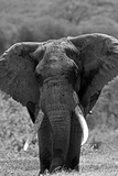 Portrait of an Old African Elephant Bull Fotografisk trykk av Beverly Joubert
