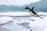 An Adelie Penguin Jumping into Icy Water Photographic Print by Ira Meyer