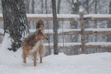 A Mixed Breed Collie Standing in a Snowy Fenced Yard Photographic Print by Amy and Al White and Petteway