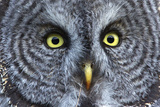 The Eyes of a Great Gray Owl Photographic Print by Barrett Hedges