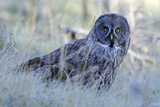 A Great Gray Owl Looks Up from Missing a Meal Photographic Print by Barrett Hedges