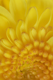 A Chrysanthemum Photographic Print by Robert Llewellyn
