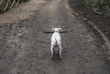 A Dog with a Big Stick on a Muddy Path in London Photographic Print by Alex Treadway