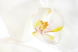 An Orchid Photographic Print by Robert Llewellyn