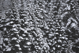 Snow Covered Evergreen Trees Photographic Print by Raul Touzon