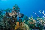 A Black Grouper Patrols a Coral Garden Fotografisk tryk af Brian J. Skerry