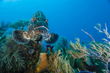 A Black Grouper Patrols a Coral Garden Photographic Print by Brian J. Skerry