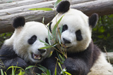 Two Giant Pandas at the Panda Research Center Photographic Print by Michael Melford