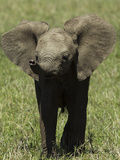 Portrait of an African Elephant Calf Photographic Print by Beverly Joubert