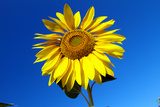 Looking Up at a Sunflower Against a Clear Blue Sky Photographic Print by Sean Gallagher