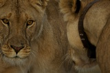 A Collared Lioness Face to Face with Another Lioness Photographic Print by Michael Nichols