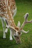 A Fallow Deer Grazes in the Knole House Deer Park Photographic Print by Jim Richardson