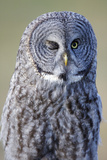 A Great Gray Owl Winks Photographic Print by Barrett Hedges