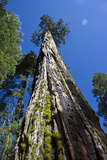 View Looking Up a Giant Sequoia Tree Photographic Print by Stacy Gold