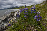 Arctic Lupines Bloom Above Katmai's Rocky Coastline Photographic Print by Matthias Breiter