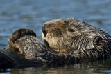 A Sea Otter, Enhydra Lutris, on it Back in the Water Photographic Print by Michael S. Quinton