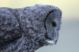 A Great Gray Owl Leans Out to Look for a Vole Photographic Print by Barrett Hedges