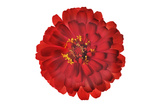 A Zinnia Flower Photographic Print by Robert Llewellyn