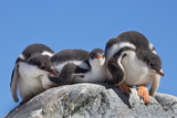 A Trio of Fuzzy Gentoo Penguin Chicks Atop a Boulder Photographic Print by Ira Meyer