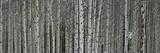 A Dense Aspen Forest Fotografisk tryk af Raul Touzon