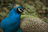 Portrait of a Peacock at the Chengdu Research Center Photographic Print by Michael Melford