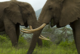 Two African Elephants Grazing Side by Side Photographic Print by Beverly Joubert