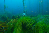 A Harbor Seal Peers from a Kelp Forest on Cortes Bank Photographic Print by Brian J. Skerry