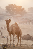 A Camel in the Desert at Sunrise Photographic Print by Jonathan Kingston