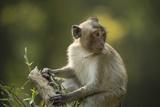 A Monkey at Angkor Wat Stampa fotografica di Melford, Michael