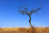 Leafless Tree on Meadow against Blue Sky Background Photographic Print by  pavel_klimenko