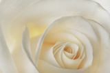 A White Rose Photographic Print by Robert Llewellyn