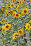 A Field of Sunflowers Photographic Print by Sean Gallagher