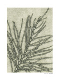 Equisetum Arvense Giclee Print by Pernille Folcarelli