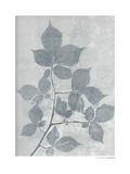 Carpinus Betulus Impressão giclée por Pernille Folcarelli