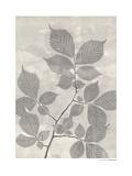 Carpinus Betulus Giclee Print by Pernille Folcarelli