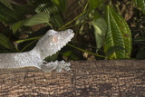 Leaf-Tailed Gecko (Uroplatus Fimbriatus), Madagascar, Africa Photographic Print by G &
