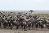 Wildebeest (Connochaetes Taurinus) Approaching the Mara River Photographic Print by Sergio Pitamitz