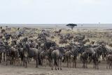 Wildebeest (Connochaetes Taurinus) Approaching the Mara River Photographic Print by Sergio Pitamitz