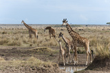Masai Giraffe (Giraffa Camelopardalis), Masai Mara, Kenya, East Africa, Africa Photographic Print by Sergio Pitamitz