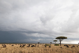 Wildebeest (Connochaetes Taurinus), Masai Mara, Kenya, East Africa, Africa Photographic Print by Sergio Pitamitz